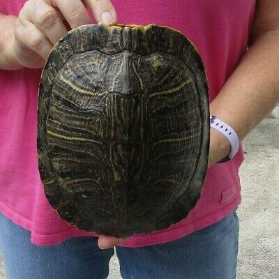 7 inch Red Eared Slider Turtle Shell - taxidermy (S) Red Eared Sliders Turtles