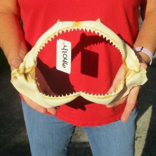 12 inch Silky Shark jaw Teeth mouth Taxidermy #41046