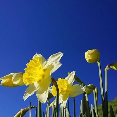 20 DAFFODIL NARCISSUS MIX GARDEN BULBS AUTUMN GROWING BEAUTIFUL SPRING FLOWER - Grow Narcissus Bulbs