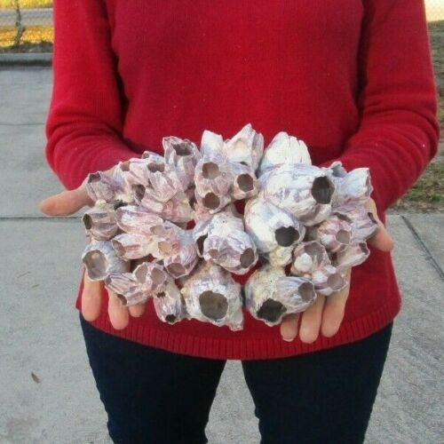 Real Purple Barnacle cluster 10 x 7 inch seashells # 42218