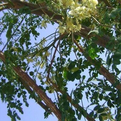 Moringa Tree Seeds  100 pc