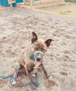 """Adult Male Dog - American Staffordshire Terrier: """"Rosco"""""""