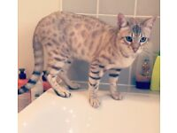 Fully registered Snow Bengal male
