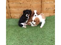 Cavalier king charles spaniel puppies ready to go