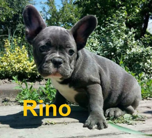 Adorable French bulldog Puppies Ready to go!!