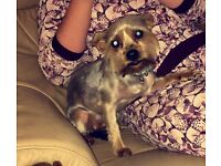 Silver Yorkshire terrier bitch for sale
