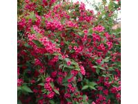HARDY PERENNIAL SHRUB, RED WEIGELA IN 2 litre pot.