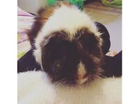 Two lovely healthy guinea pigs for sale.