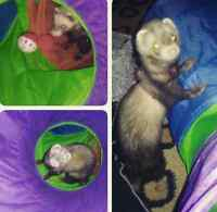 Female Ferret with ALL Accessories. Drop off or Pick Up