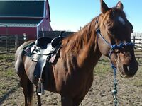 Great 18 Yr Old Gelding - PRICE REDUCED