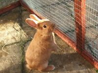Baby ginger rabbit