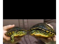 2 yellow belly turtles and all their things £120