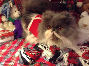 Persian & Championship Bloodline Campbell River Comox Valley Area image 7