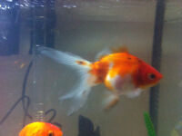 Golfish for sale