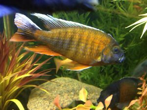 FISH – RED EUREKA PEACOCK CICHLID - AWESOME MALE