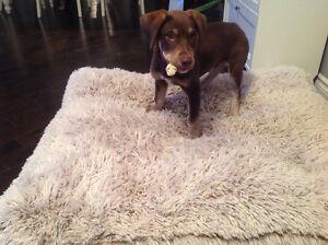 Labrador croisé à vendre