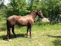 Four Tennesse Walker horses for sale
