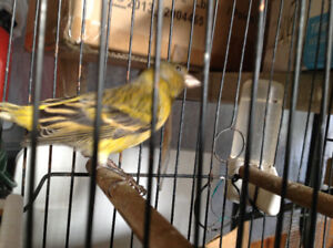 Canary mixed with black head Siskin