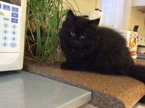 an adorable black ragdoll kitten, ready to go