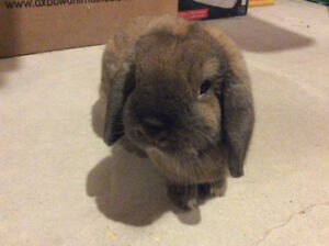 Mature Lop Free to Good Home