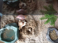 Two hermit crabs with habitat