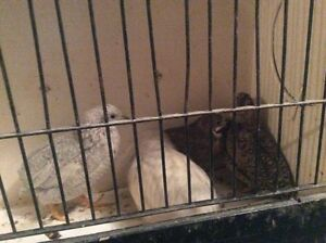 Button quail for sale or trade