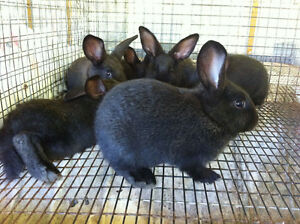 Black New Zealand Red Californian Crossed Meat Rabbits Bunnies