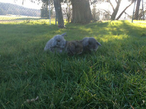 Purebred Mini Lop Baby Bunnies