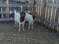 Doe boer goats for sale