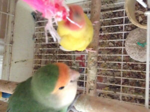 Breeding Love Birds, Female on eggs, come with nice cage