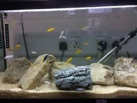 Malawi Mbuna for sale 4 different species great choice and quality