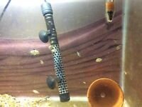 Baby convict cichlids for sale £3 each