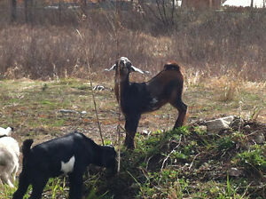 Mini-Nubian baby goats for sale!