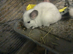 White Chinchilla with cage and accessories for sale