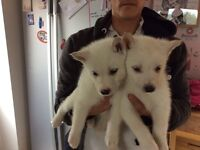 White husky puppies for sale