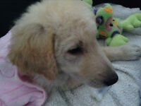 12 week old Golden Pyrenees  puppy    Beautiful !