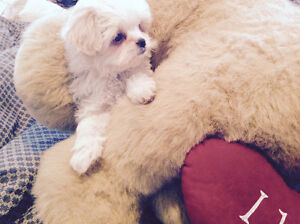 ADORABLE POM X SHIH TZU PUPPIES - I LIKE TO BE YOUR VALENTINE !