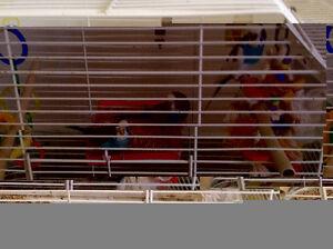 perruches a vendre