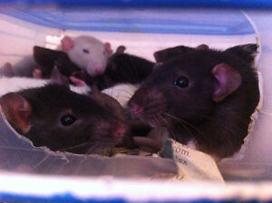 Rats for sale!! :)