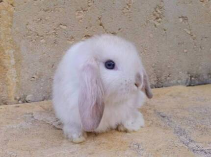 Mini Lop Rabbit Babies - Vaccinated, Blue Eyed Chocolate Points