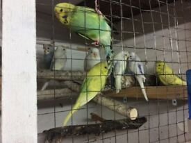 BUDGIES AND JAVAS FOR SALE
