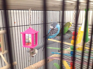 2 Parakeets For Sale