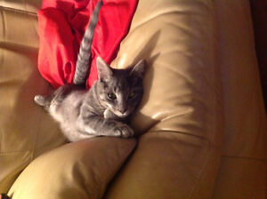 Unfixed male grey and black cat found uptown
