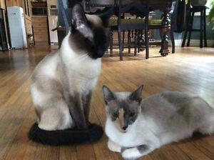 Siamese Kitten 1 female Oakville / Halton Region Toronto (GTA) image 3