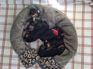Chiots Yorkshire terrier 600,$