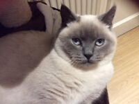 British colourpoint shorthaired male kitten 7mts old