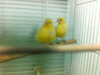 Canaries--Male & Female,Pairs