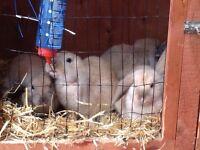 9 week old Baby rabbits