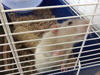 Rat avec cage et accessoires