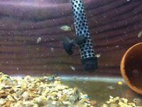 A lot of baby convict cichlids for sale £3 each